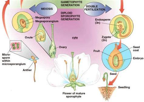 flowchart of pollination fertilization and seed development fertilization angiosperm morphology tutorvista