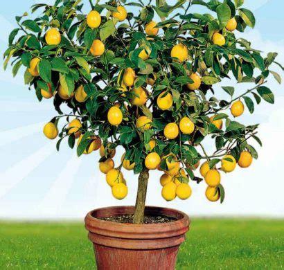 Comment Avoir Des Citrons Sur Un Citronnier by Comment Rempoter Un Citronnier Citrons With Comment
