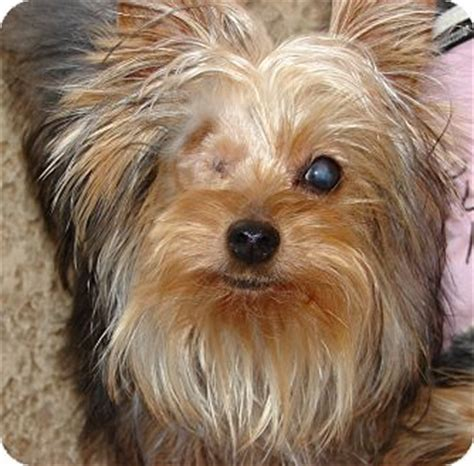 how yorkies live view lost found animals