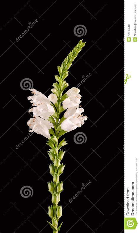 cespugli fiori bianchi virginiana bianco di physostegia corona di neve cespugli