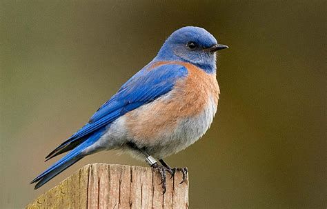 western bluebirds sing like their neighbors not