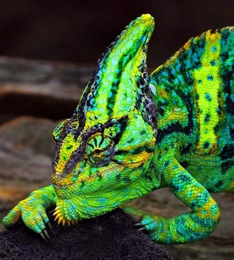 colorful chameleon colorful chameleon hibians reptiles