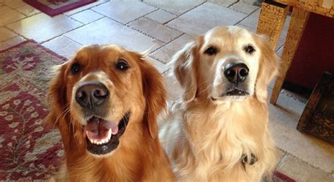 buzzed golden retriever 14 signs you are a golden retriever person