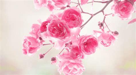 wallpaper flower pink rose wallpaper pink roses free download wallpaper dawallpaperz