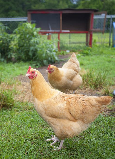 chickens for backyards coupon code backyard chickens in allen wells brothers pet lawn garden supplywells brothers