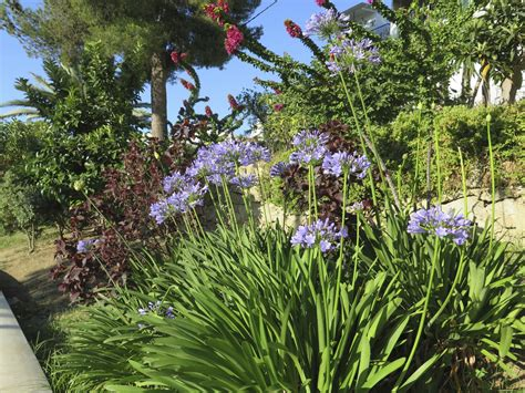 agapanthus companion plants learn about plants that grow well with agapanthus