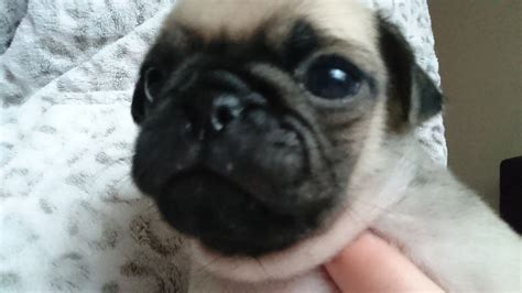 fawn pug for sale k c reg fawn pugs for sale birmingham west midlands pets4homes