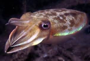 Cuttlefish   Endangered Animals Facts, Wildlife Pictures And Videos