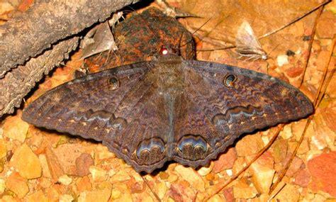 imagenes de mariposas negras grandes galer 237 a de im 225 genes mariposas negras