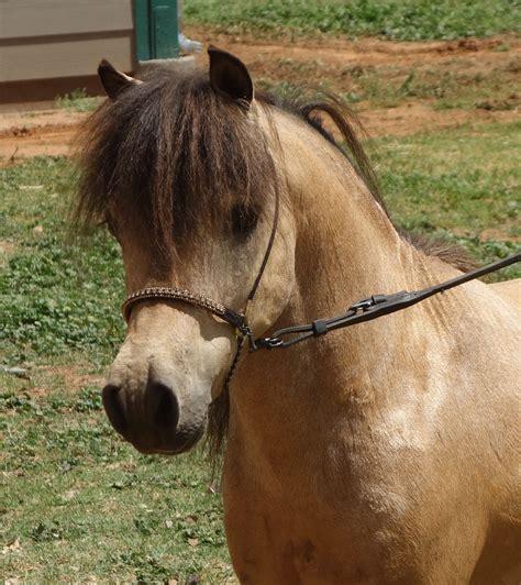 buck w miniature horses