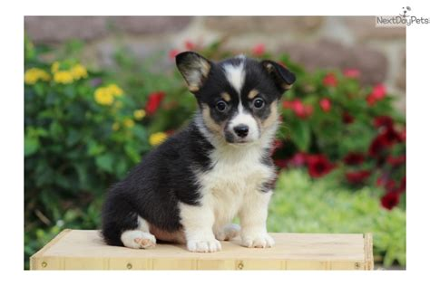 corgi puppies near me corgi pembroke puppy for sale near lancaster pennsylvania 692157ff 5391