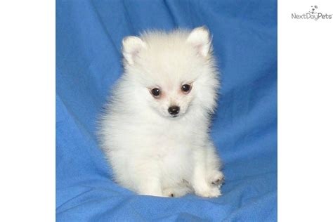 3 pound pomeranian pomeranian puppy for sale near springfield missouri bf59c06e 0011