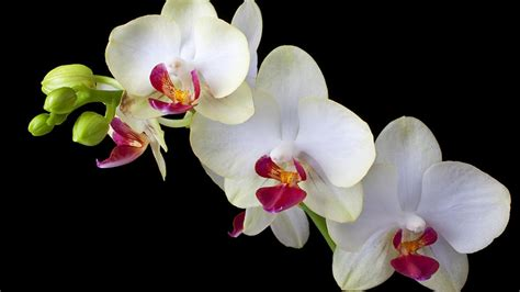 black and white orchid wallpaper three wonderfull white orchid flower black background hd