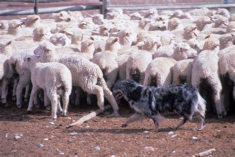 australian herding australian shepherd herding australian shepherds