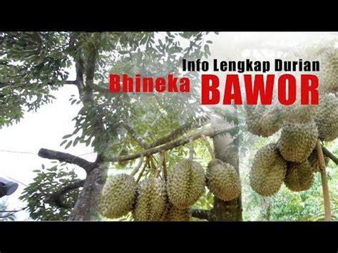 Bibit Durian Musang King Sambung Sisip terbongkar rahasia besar bibit durian bawor doovi