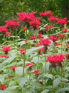 from seed to scrumptious bountiful bee balm