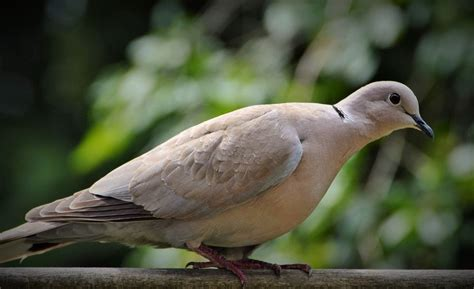 Hybrid Kitchen Dove And Pigeon Identification Tips