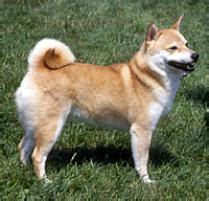 shiba inu puppies mn adopt a shiba inu breeds petfinder