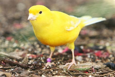 yellow canary facts pet care behavior diet price