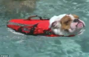 Pinks Bulldog Drowns In Pool by T S Drowning Gets A Jacket But Pneumatic