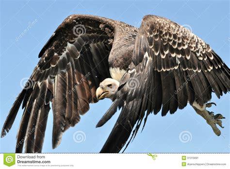 grifo de ruppel ruppel vulture stock image image of condor america