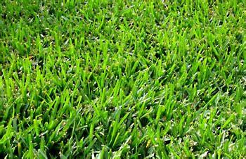 hulled bermuda couch bermuda grass