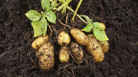 Wie Pflanze Ich Kartoffeln 4632 by Kartoffeln Pflanzen So Klappt S Im Garten Oder Im Eimer