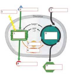 photosynthesis and cellular respiration diagram