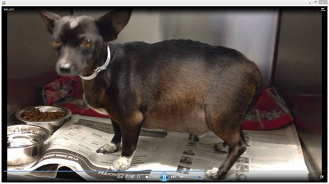 ascites in dogs chihuahua moco 3 year chihuahua with ascites needs to be rescue asap