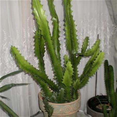 Kaktus Hias Euphorbia Lactea Ka53 candelabra plant euphorbia lactea in the euphorbias