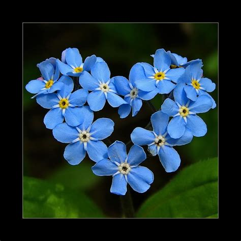 imagenes de flores no me olvides heart forget me not by dan everest on la flor quot no me
