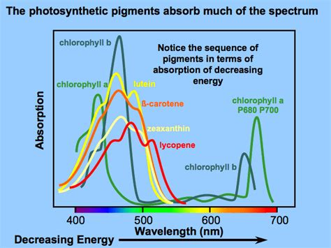 the absorption of light by photosynthetic pigments worksheet answers light dependent reactions