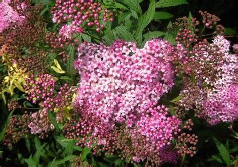 cespugli fioriti sempreverdi piante a cespuglio da giardino arbusti da fiore piante