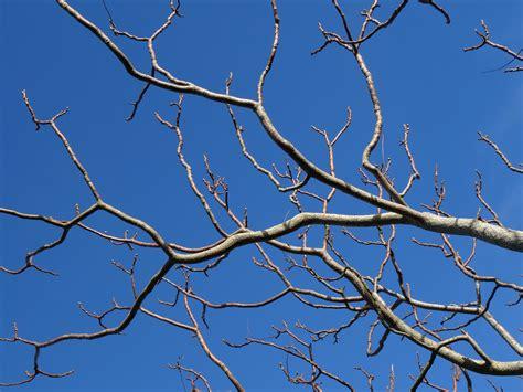 bare branch tree brown bare tree 183 free stock photo