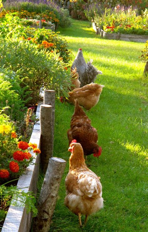 Backyard Chickens by The World S Catalog Of Ideas