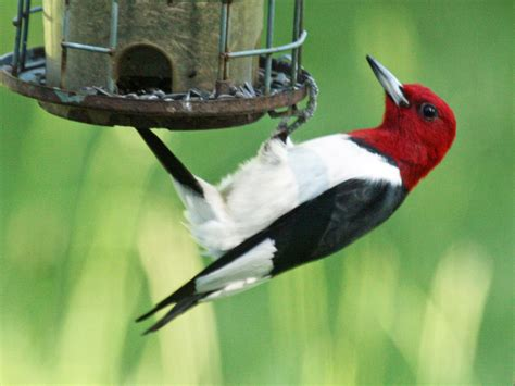 red headed woodpecker red headed woodpecker pictures file red headed woodpecker melanerpes erythrocephalus