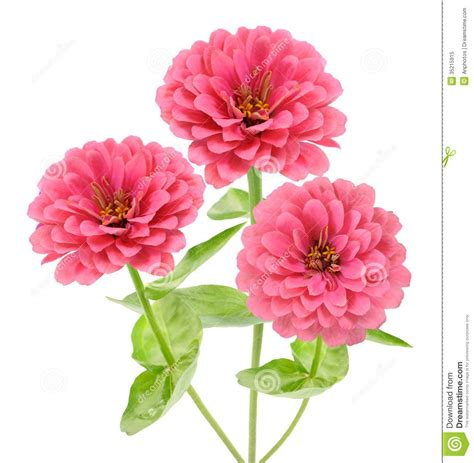 Flower Pot by Pink Zinnia Royalty Free Stock Photo Image 35215915