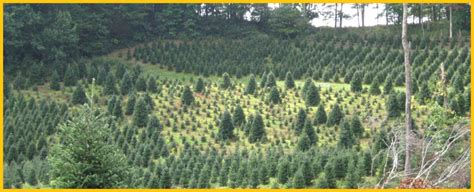 best nc christmas tree farm cornett and deal tree farm nc tree farms