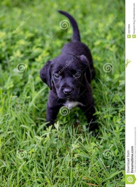 6 week lab puppy black lab puppies stock photo image 42073868