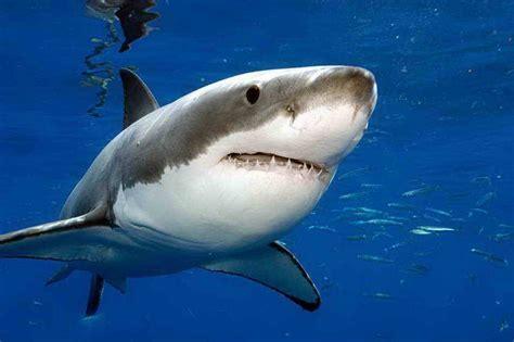 lebih banyak ikan di laut atau bintang di langit kisah hiu putih besar predator terbesar di lautan ferboes com