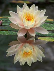 What Does A Lotus Flower Lotus Flower Meanings