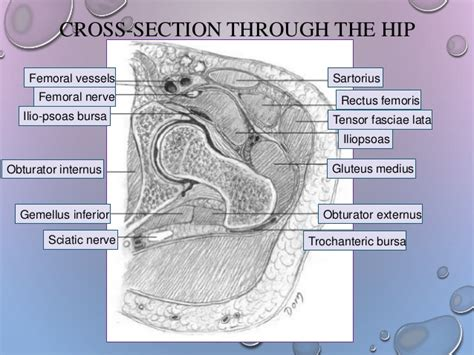section 25 from the hip hip girdle from anatomy to orthopedics