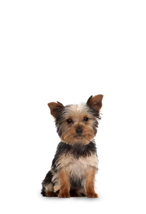 nutro small breed puppy food nutro wholesome essentials small breed puppy farm raised chicken brown rice