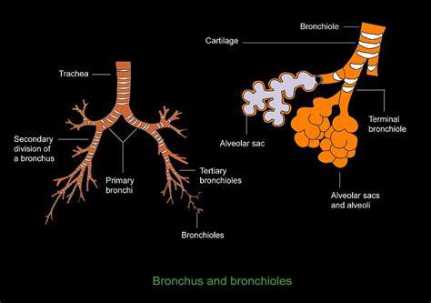 diagram of bronchioles bronchus and bronchioles diagram photograph by francis