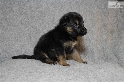 german shepherd puppies for sale in arkansas german shepherd puppy for sale near rock arkansas 0c354a45 3a61
