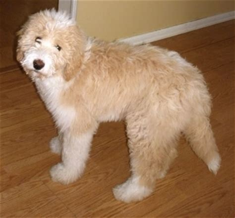 pyredoodle puppies pyredoodle breed 187 great pyrenees poodle mix
