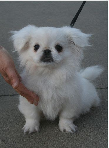 white pekingese puppies white pekingese puppy picture with puppy jpg 1 comment
