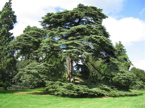 cedar trees cedar of lebanon warwick castle grounds flickr photo