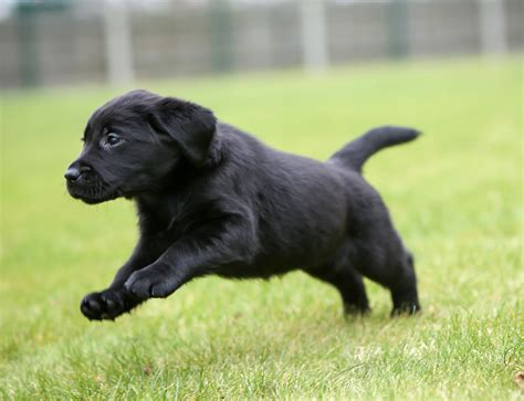 puppy this sponsor a puppy yazmin s puppy gallery guide dogs