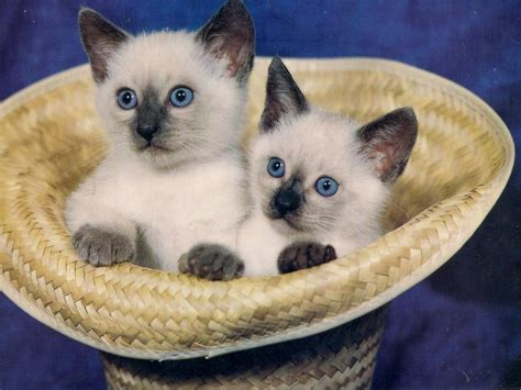 twin cats siamese twin kittens pixdaus